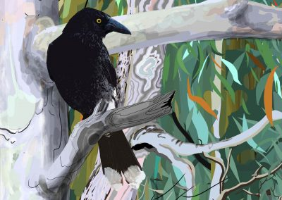 Pied Currawong-detail